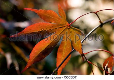 Japanese Maple (Acer japonicum) - Stock Photo