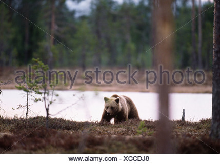 Bear beside river - Stock Photo