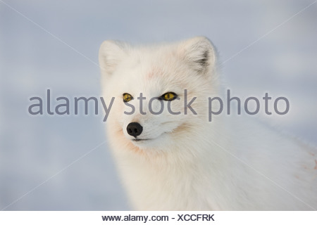 An arctic fox surveys it's icy domain on a frigid winter day in the arctic - Stock Photo