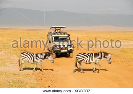 zoology / animals, mammal (mammalia), zebra (Equus quagga), two zebras crossing dirty road, Additional-Rights-Clearance-Info-Not-Available - Stock Photo