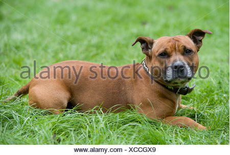 Staffordshire Bull Terrier Dog UK - Stock Photo