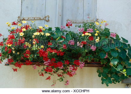 Close-up of red geraniums and yellow daisies in window-box on window with pale blue wooden shutters - Stock Photo