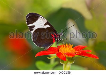Close up of Sapho Longwing (Heliconius Sapho) - Stock Photo