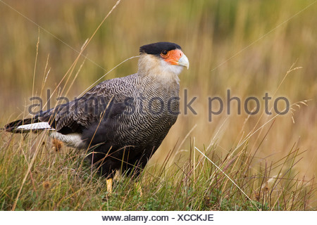 Caracara (Milvago chimango) at the National park Tierra del Fuego, Argentina, South America - Stock Photo