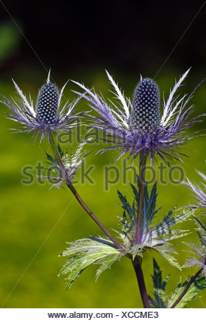 Alpine Sea Holly (Eryngium alpinum), protected plant from the Alps - Stock Photo