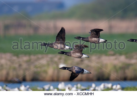 brent goose (Branta bernicla), flying flock, Netherlands, Texel - Stock Photo