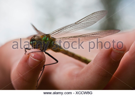 Dragonfly on finger - Stock Photo