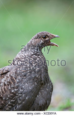 Blue grouse (Dendragapus obscurus), female, Manning Provincial Park, British Columbia. - Stock Photo
