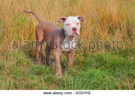 Olde English Bulldog (Canis lupus f. familiaris), twelve weaks old puppy standing in a meadow, Germany - Stock Photo