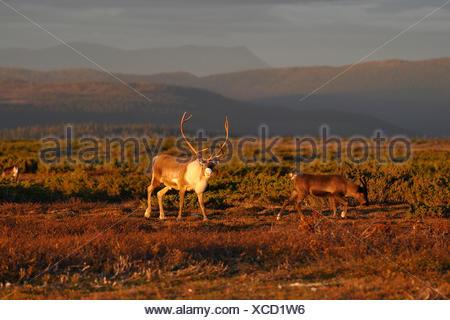 reindeer in evening light - Stock Photo