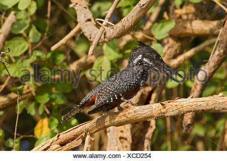 A female giant kingfisher, Megaceryle maxima, looks for food. - Stock Photo