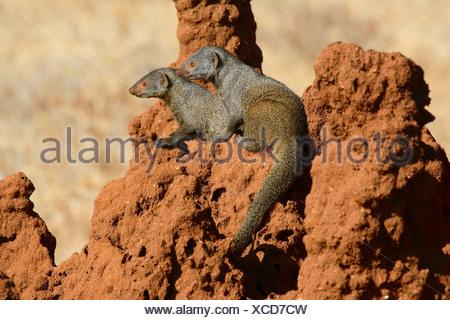 dwarf mongooses (Helogale spec.), sitting on termite mound, Kenya, Samburu Np - Stock Photo