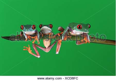 red-eyed treefrog (Agalychnis callidryas), three indivuduals climbing on a twig - Stock Photo