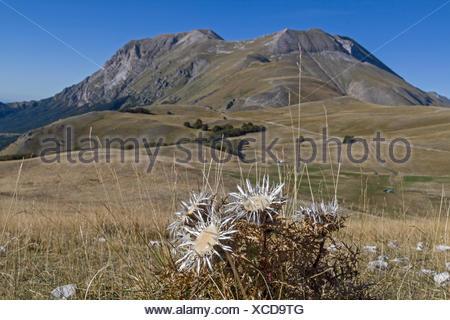 Silberdisteln sind auf vielen hochgelegenen Wiesen der Abruzze4n zu finden - Stock Photo