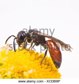 Cuckoo Bee (Sphecodes albilabris) - Stock Photo