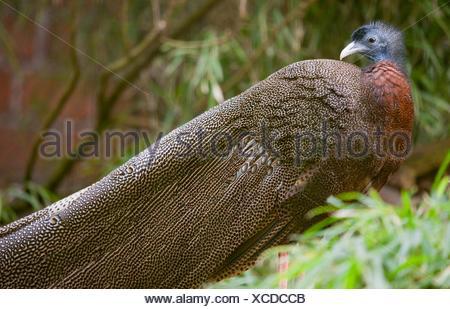 Malayan Great Argus Pheasant Blue Eye Long Feathers Argusianus Argus - Stock Photo