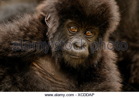 Baby Mountain Gorilla (Gorilla beringei beringei) from the Hirwa group at the foot of the Gahinga Volcano - Stock Photo