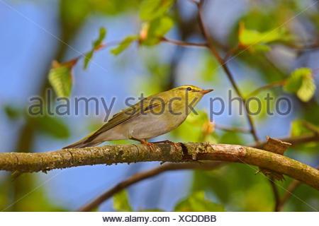 Waldlaubsaenger, Wald-Laubsaenger (Phylloscopus sibilatrix), sitzt auf einem Zweig und schaut nach oben, Deutschland   wood warb - Stock Photo