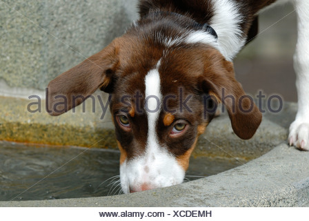 A young half-breed Dog is drinking from a well basin - Stock Photo