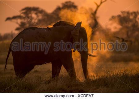 An Elephant, Loxodonta africana, dusting as the sun sets. - Stock Photo