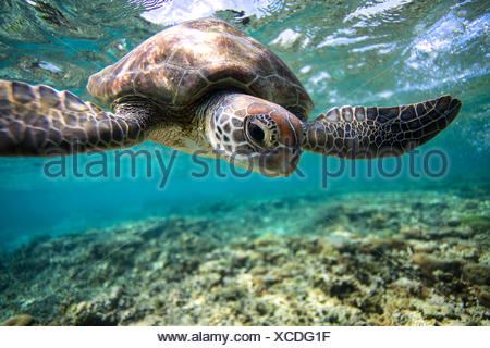 Australia, Lady Elliot Island, Turtle swimming underwater - Stock Photo