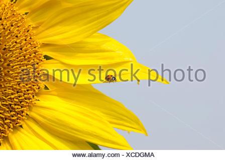 Seven-spot Ladybird (Coccinella septempunctata) on Sunflower (Helianthus annuus) - Stock Photo