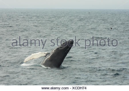 Humpback Whale, (Megaptera novaeangliae), breaching, Witless Bay Ecological Reserve, Newfoundland, Canada - Stock Photo