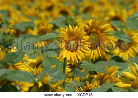 Leipzig, Germany, Sunflower Field - Stock Photo