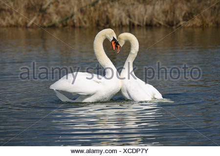 two mute swans - in water / Cygnus olor - Stock Photo
