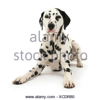 Dalmatian dog, Jack, 5 years, with one black ear, lying with head up, against white background - Stock Photo