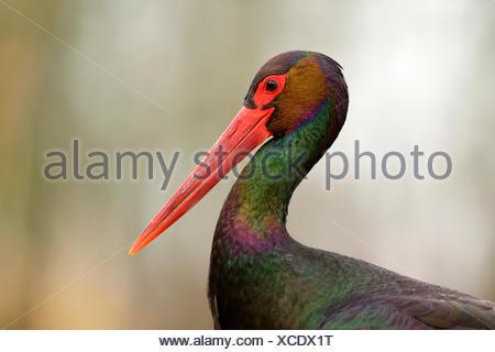 Black stork (Ciconia nigra), head portrait, Kiskunság National Park, Hungary - Stock Photo