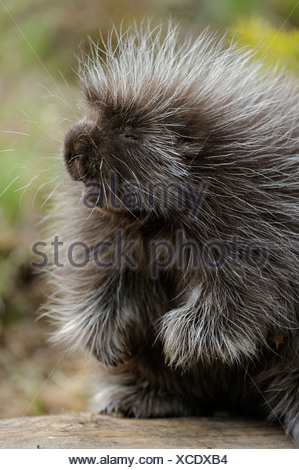 Porcupine Erethizon dorsatum Baby - Stock Photo