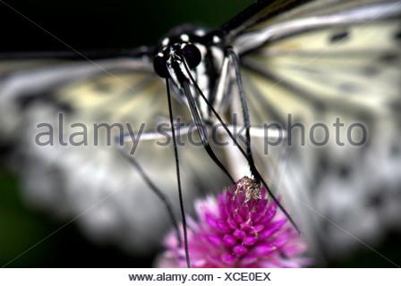 Tree Nymph ButterflyIdea leuconoe Asia - Stock Photo