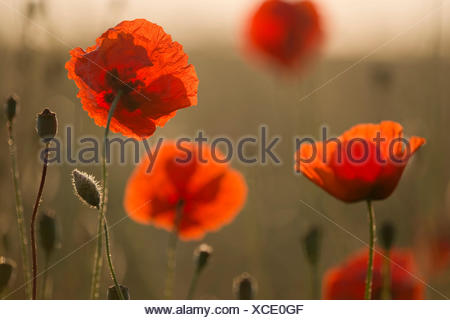 Corn poppy (Papaver rhoeas) flowers in the morning light, Thuringia, Germany - Stock Photo
