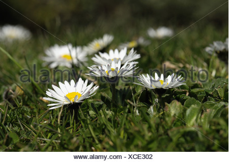 Ground level view of flowering daisy Bellis perennis in a garden lawn - Stock Photo