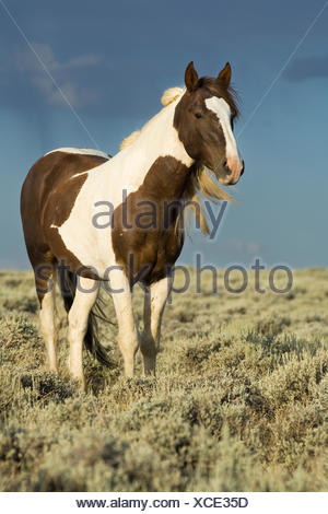 Mustang (Equus ferus caballus), stallion, piebald standing in prairie, Wyoming, USA - Stock Photo