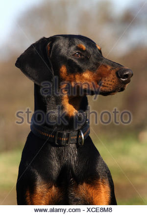 Dobermann (Canis lupus f. familiaris), portrait, Germany - Stock Photo