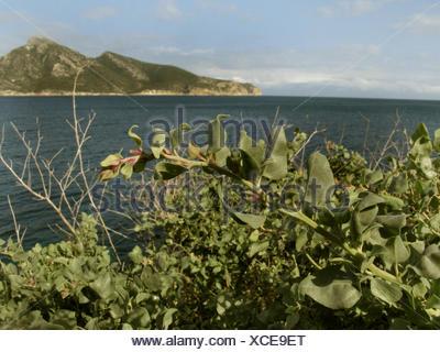 Mediterranean saltbush, Sea orache, Shrubby orache (Atriplex halimus), at the coast, Dragonera Island in background, Spain, Balearen, Majorca - Stock Photo