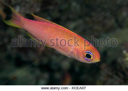 Parrot Seaperch, Callanthias ruber, Korcula, Croatia - Stock Photo