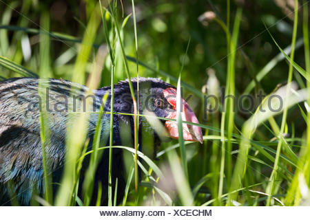 Takahe, (porphyrio hochstetteri) a rare native bird of New Zealand once thought to be extinct, scratching around for food - Stock Photo