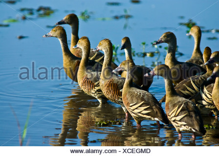 A flock of plumed whistling-duck wading in a wetland at dawn. - Stock Photo