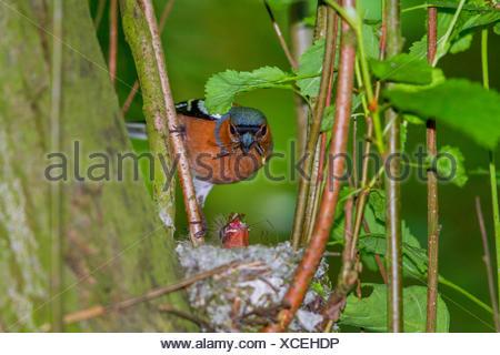 chaffinch (Fringilla coelebs), male feeds chick, Germany, Mecklenburg-Western Pomerania - Stock Photo