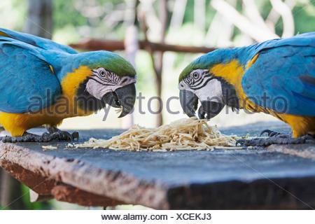Gold and Blue Macaw (Ara ararauna) feeding spaghetti, Orinoco Delta, Venezuela - Stock Photo