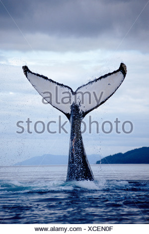 Humpback whale lobtailing, Chatham Strait, Southeast Alaska - Stock Photo