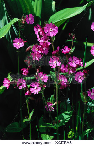 botany, Silene, (Melandrium), Red campion, (Melandrium rubrum), blossoms, Silena dioica, Melandrium rubrum, silvestre, diurnum, - Stock Photo