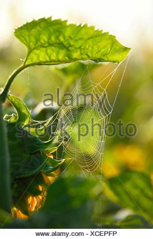 common sunflower (Helianthus annuus), with spiderweb, Germany, Bavaria - Stock Photo