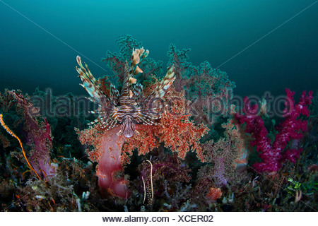 Lionfish in Soft Coral Reef, Pterois volitans, Lembeh Strait, North Sulawesi, Indonesia - Stock Photo