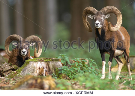 Moufflons - Stock Photo