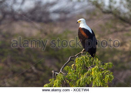 African Fish Eagle or African Sea Eagle (Haliaeetus vocifer) waiting on perch - Stock Photo