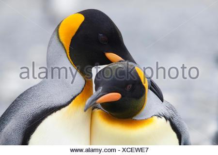 King Penguin (Aptenodytes patagonicus). Tender couple. Falkland Islands. No exclusive sales ! - Stock Photo